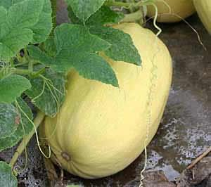 そうめんかぼちゃ・金糸うり 旬の食材のレシピ